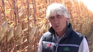 Над 2 това зърно на декар от пионерски хибриди царевица в Калековец