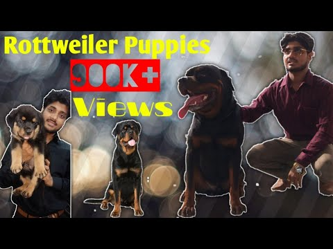 Rottwiler puppies on sale 25000/-