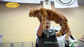 Международная выставка кошек, Харьков, 5 марта 2017, ринг часть 1