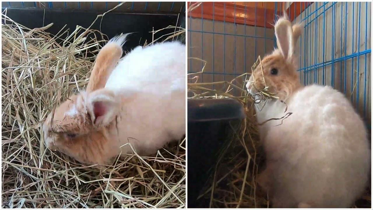 Odd pregnant bunny behavior