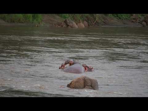 P3195090   Stoeiende nijlpaarden Mejete NP