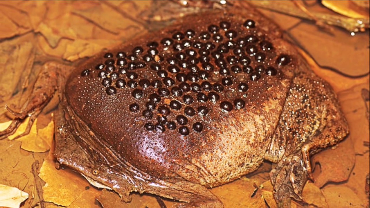 Surinam Toads Trypophobia Reproduction Youtube