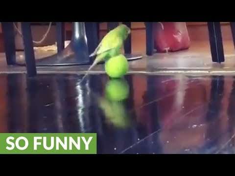 Vocal parakeet enthusiastically plays with tennis ball