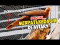 Burung Merpati Kedasih Besar Berekor Panjang Uncal Merah Coba Di Kembangbiakan Di Aviary  Mp3 - Mp4 Download