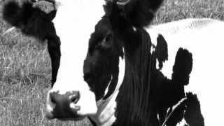 Как снять порчу и сглаз с коровы