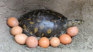 Finding Tortoise and Eggs in Soil Hole | Boy Searching Tortoise