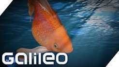 Goldfische: Warum sind sie beliebt und wie kommen sie zu uns? | Galileo | ProSieben