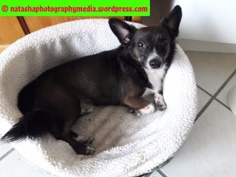 My Cardigan Welsh Corgi is NOT a Chihuahua Dachshund Mix