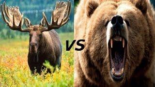 Walki Zwierząt - Niedźwiedź vs Jeleń