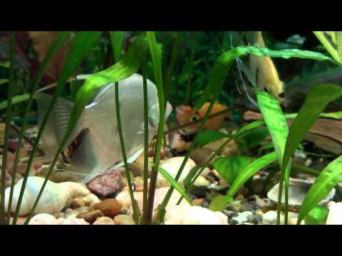 Гурами, содержание, размножение, аквариум для гурами, фото