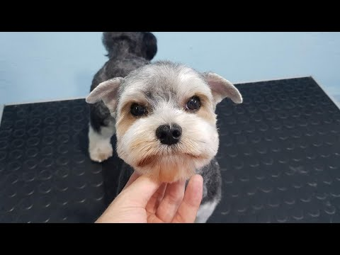 Grooming The Cutest Morkie Ever