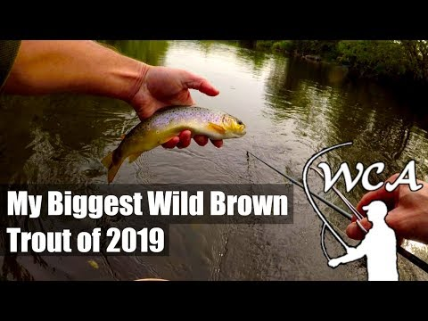 Fly Fishing In The UK With The Mayfly - My Biggest Wild Brown Trout Of 2019