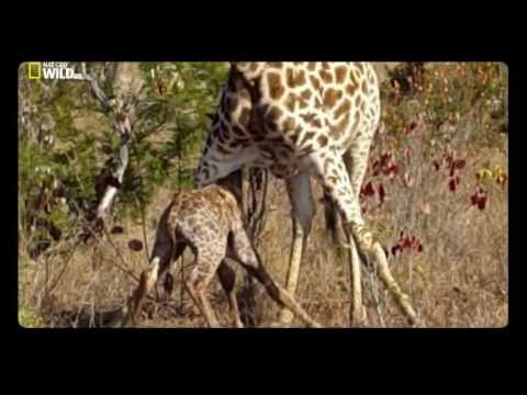 Как рождается жираф видео