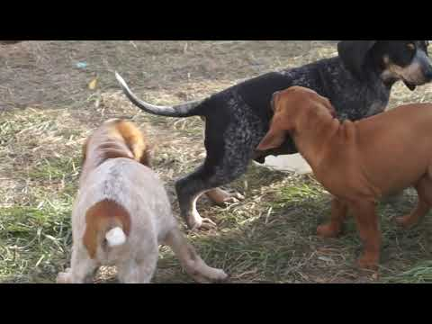 Hound puppy mashup! Awesome Coonhound puppies available.