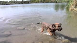 Border Terrier Schwimmt Im Teich     Бордер терьер плавает в пруду