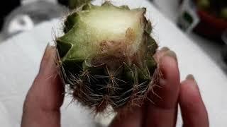 Как укоренить кактус/разрезать и укоренить кактус/посадка кактуса