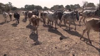 Ma rencontre avec les vaches au Burkina