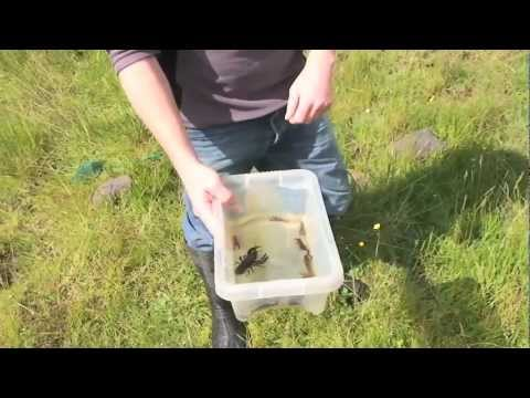 Wildlife Conservation In The Yorkshire Dales - White-clawed Crayfish