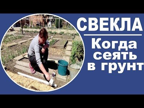 Когда и как сеять семена свеклы в открытый грунт