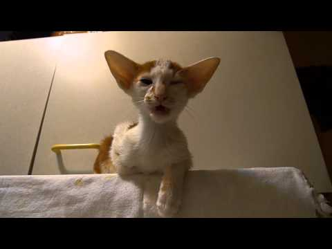 Talking Oriental Shorthair kitten (Massimo)