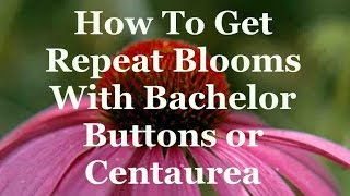 How To Get Repeat Blooms With Bachelor Buttons Or Centaurea
