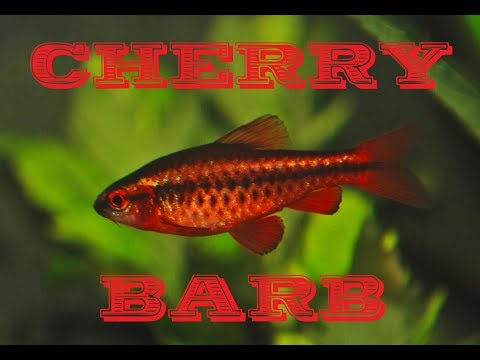 Cherry Barb (Puntius Titteya ) Species Profile