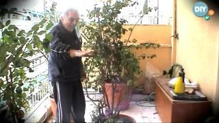 Τριανταφυλλιά triantafyllia @ www.diytv.gr