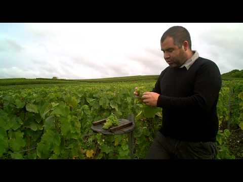 Champagne's Forgotten grape varieties - Tarlant Harvest 2012