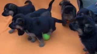 ジャーマン・シェパード・ドッグの子犬です。 子犬情報 → http://www.an...