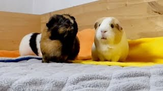Vlog: Changing to Fleece Liner Bedding for the Guinea Pigs cage?!