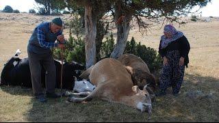 Kütahya Valiliği inekleri telef olan yaşlı çifte ulaştı