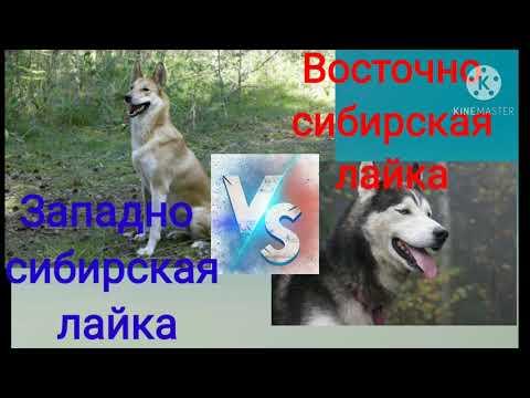 Кто сильней восточно-сибирская лайка или западно-сибирская лайка
