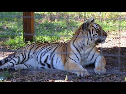 Touring Big Cat Rescue In Tampa, FL