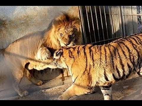 Lion Vs Tiger Real Fight To Death Wild Animals Attack Youtube