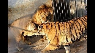 Lion vs Tiger real Fight To Death - Wild Animals Attack