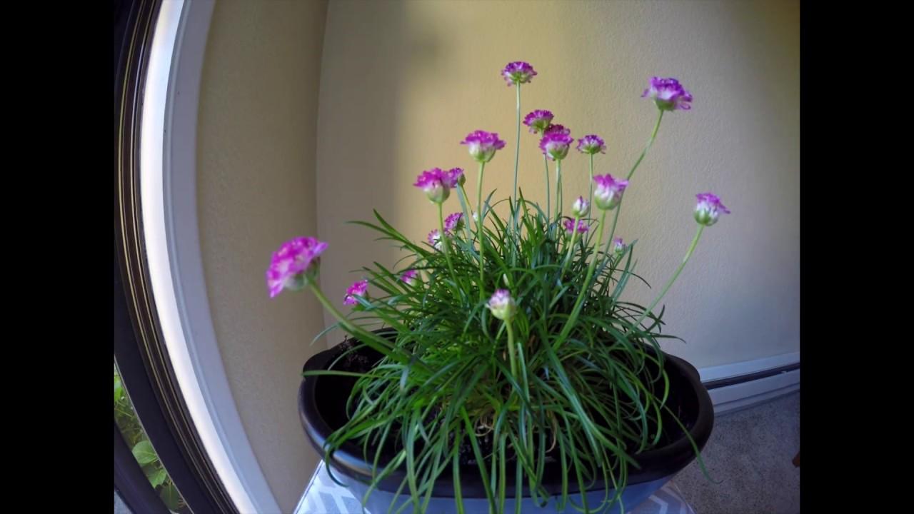 TIMELAPSE Armeria Maritima, Sea Thrift, Sea Pink, Plant, Армерия