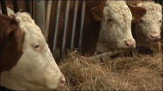 Un élevage intensif de vache fait polémique dans la Somme