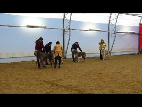 Dog Show Stuhr Best Of Breed Irish Wolfhound
