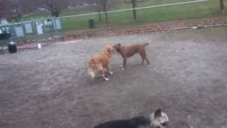 Dog Park Tug Of War (golden Retriever Vs Pit Bull)