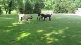 Anatolians,  Great Dane Puppy,  Giant Standard Poodle Running