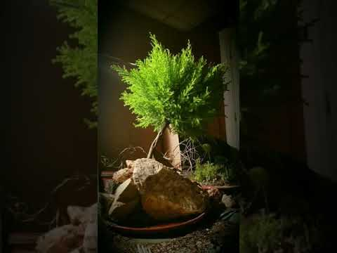 Lemon Cypress Bonsai Ozarks Style Youtube