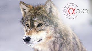 Ясон Бадридзе: Формирование поведения волка