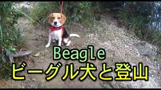 3代目ビーグル犬の小梅と申します。10ヶ月です。佐賀県有田町黒髪山へハ...
