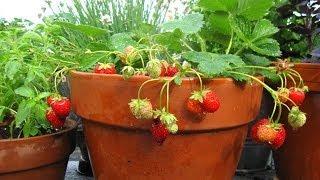 كيفية زراعة الفراولة في المنزل