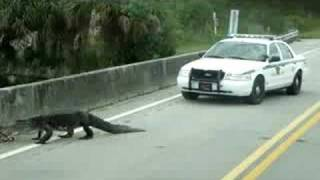 Alligator Runs Away from Cops!!!