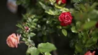 Смотреть видео штамбованые розы и что с ними делать