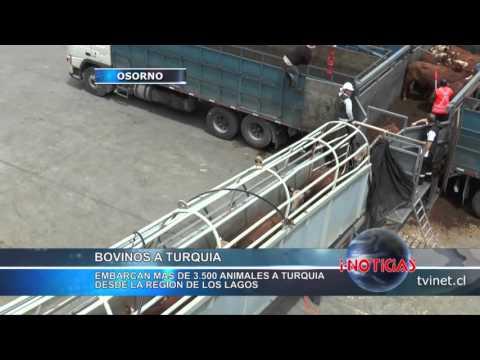 Embarcan más de 3.500 bovinos  a Turquía desde la región de Los Lagos