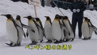 北海道旭川市にある旭山動物園で雪の中を散歩するペンギン.