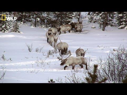 BBC I The Phenomenon Of Snow In The Wilderness I Wild Animals