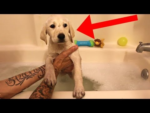 Labrador Puppy's First Bath At New Home!!!